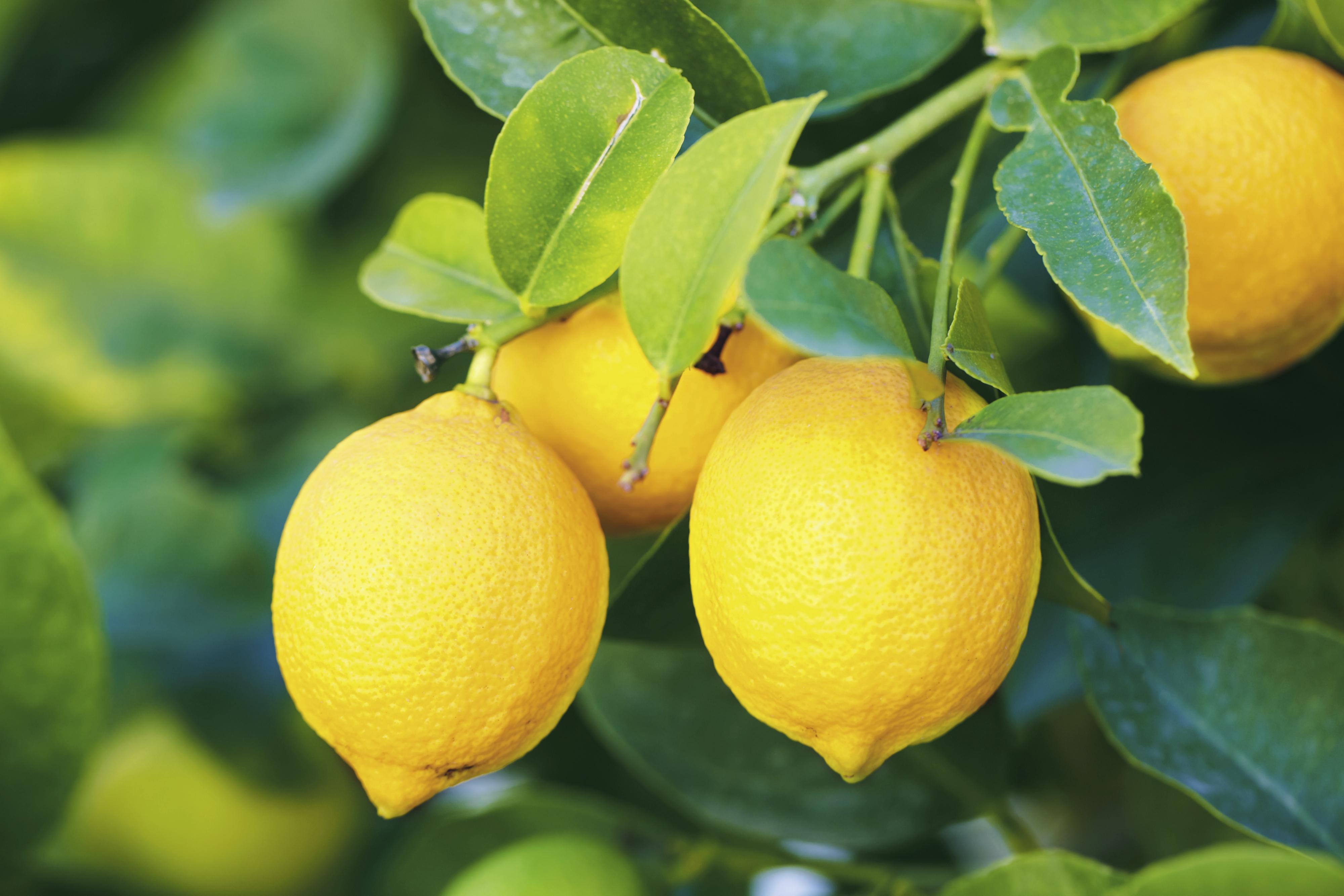 branch of ripe lemons